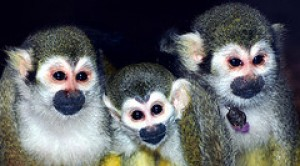 adorable baby capuchin squirrel and marmoset monkeys ready for good homes