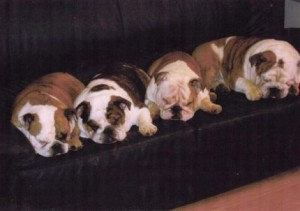 semana santa inglés bulldog cachorros en venta