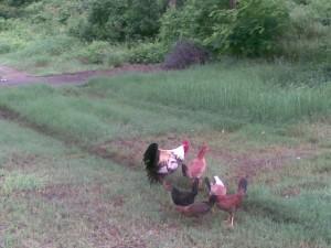 gallos de peleas, padrotes y trio para cria